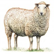 Lamb (8)