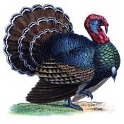 Turkey (3)