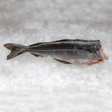 Saithe 1,2- HG Norway (app.w. 50 kilos) frozen