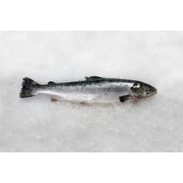 Salmon HO 5-6 fresh Norway, farmed in Norwegian