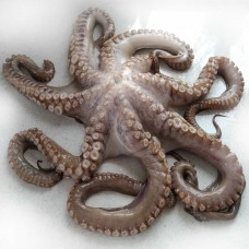 Octopus whole-cleaned, raw 2-3kg Spain (14kg) 10%